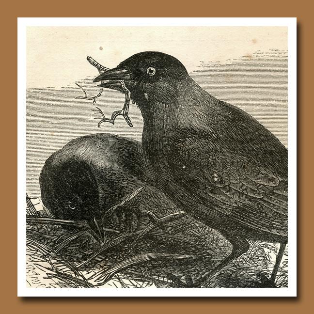 Crow 8