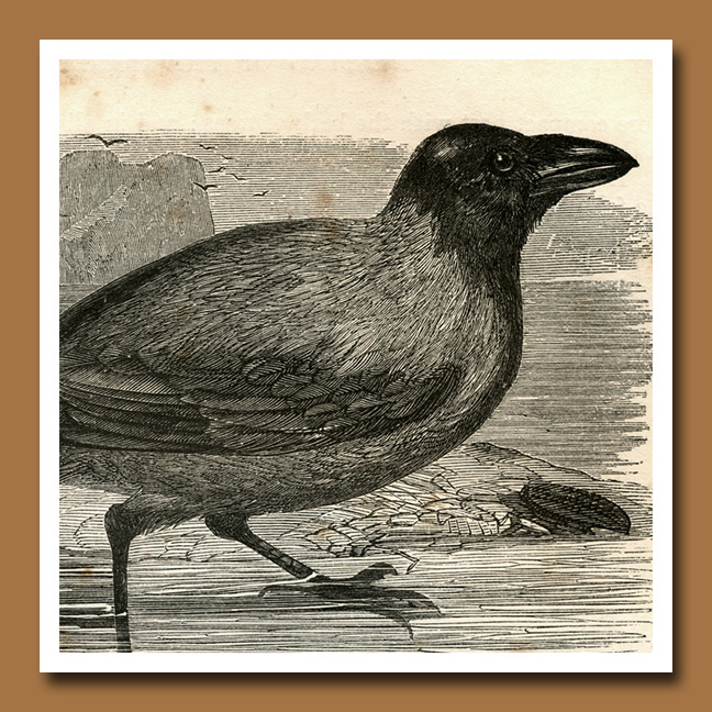 Crow 9