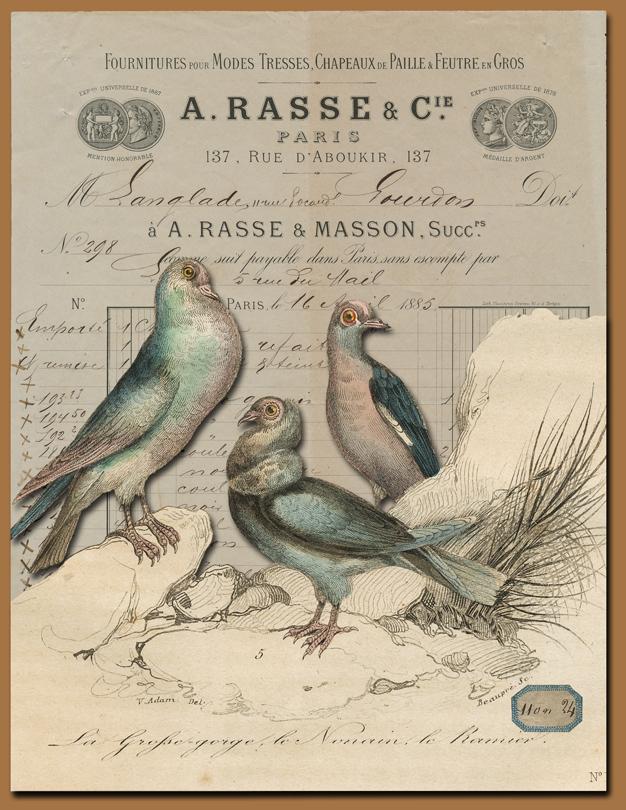 Buffon Pigeons