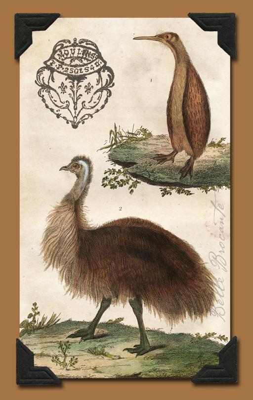 Buffon Emus